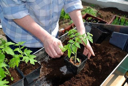 Можно ли уже сажать помидоры 446