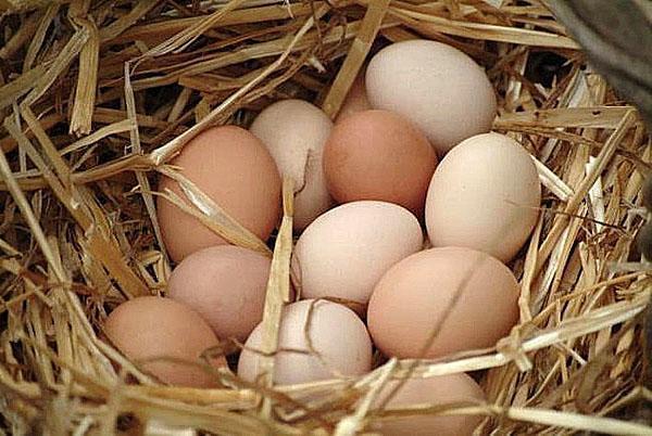 сбор яиц