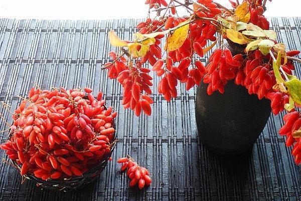 ягоды барбариса для варенья