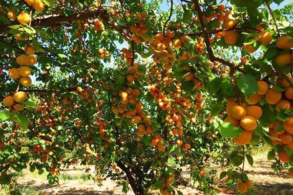 абрикоса на даче Подмосковья