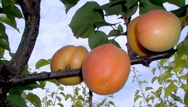 абрикосы в Хакассии