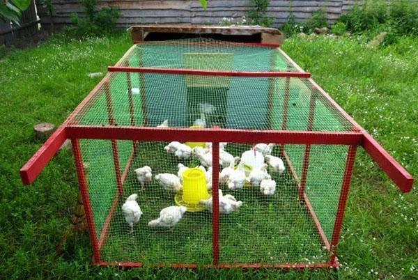выгул цыплят на траве