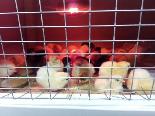 цыплята в брудере под лампой