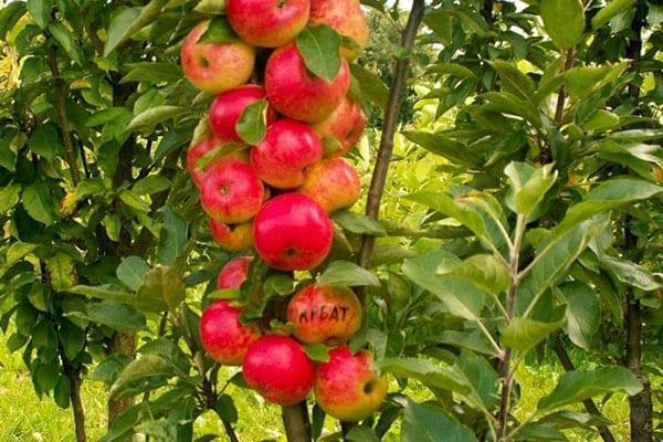 колоновидная яблоня сорта Арбат