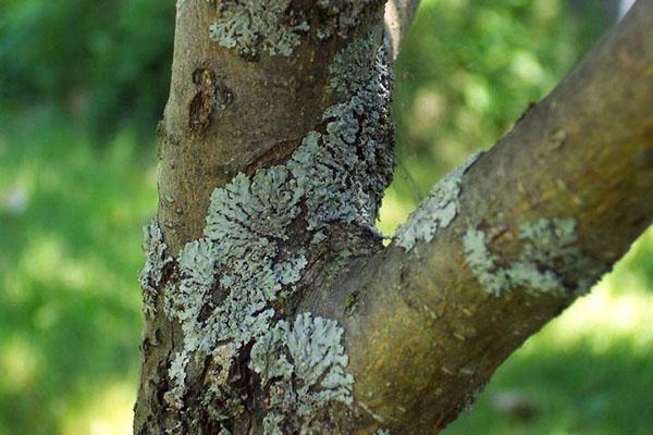 лишайники на плодовом дереве