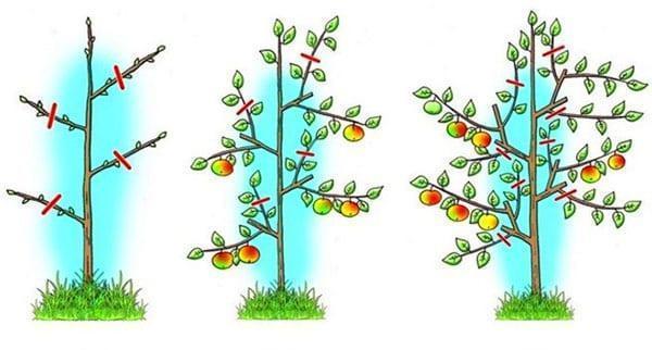 схема обрезки плодовых колоновидных деревьев