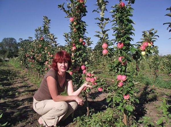 плодоносят колоновидные сорта в саду