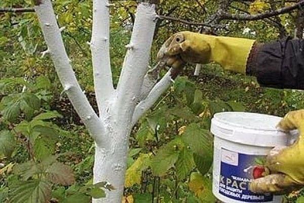побелка стволов - защита дерева