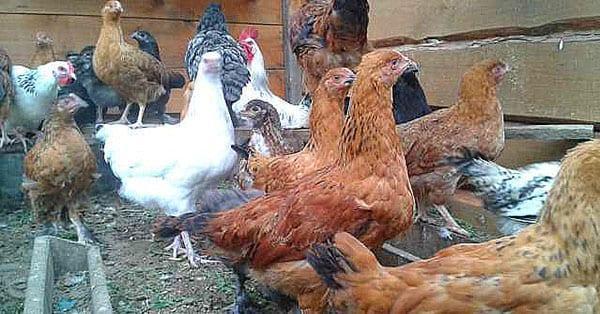 подрощеные цыплята