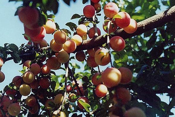 сорт абрикоса Лавина