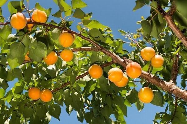 урожай абрикосов в Подмосковье