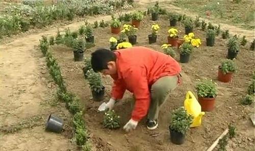 высадка хризантем