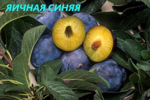 Яичная синяя слива