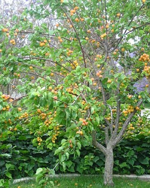 абрикос на даче