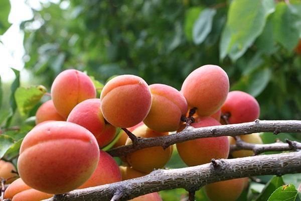 абрикос сорта Краснощекий