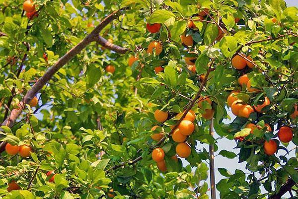 абрикосы на Урале и в Сибири
