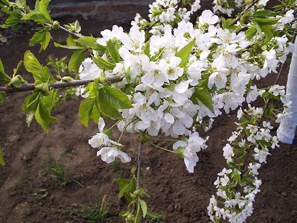 цветение черешни Ревна