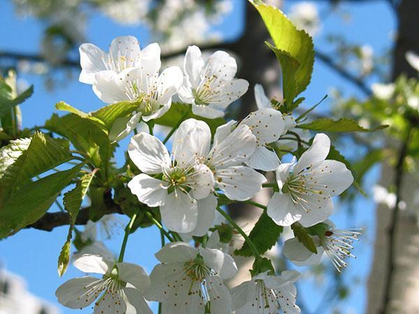 цветение Фатежа