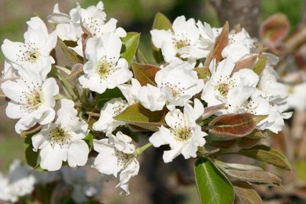 цветение груши Память Жегалова