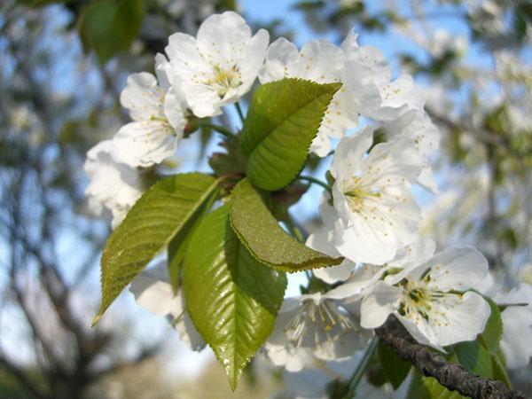 цветет черешня Ипуть