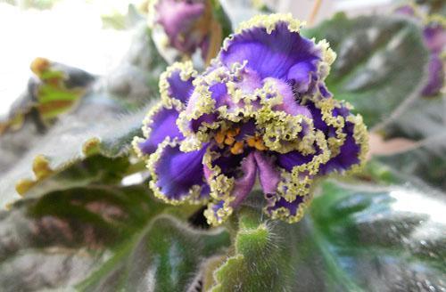 цветет фиалка