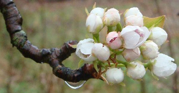 цветет лесная красавица