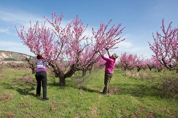 цветет персиковый сад