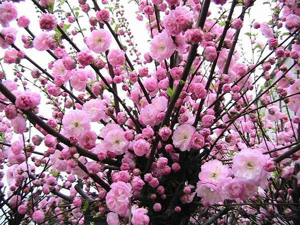цветет японская слива