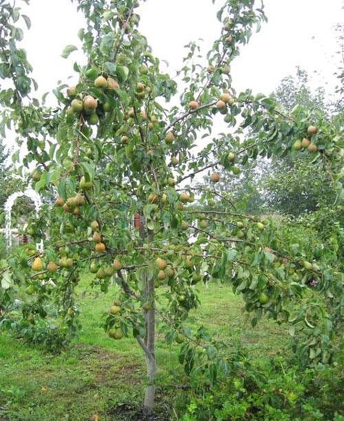 дерево груша Кафедральная