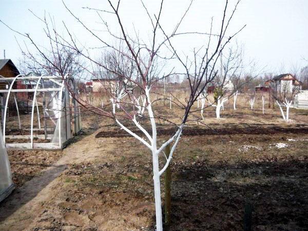 дерево подготовлено к весне