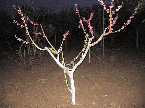 дерево после обрезки