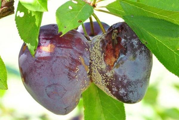 гниль плодов