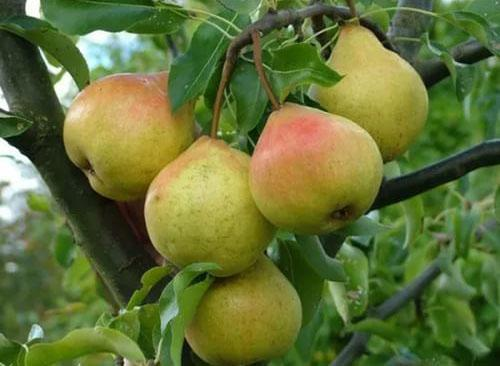 груша сорт Осенняя Яковлева