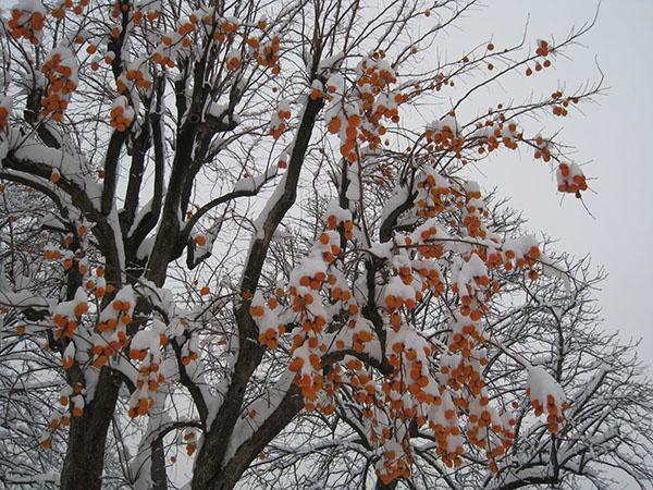 хурма покрытая первыми снегом