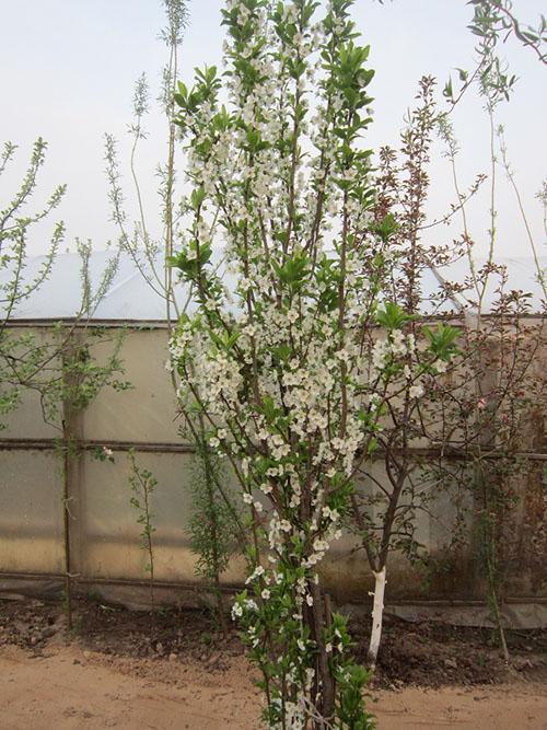 колоновидная слива в саду