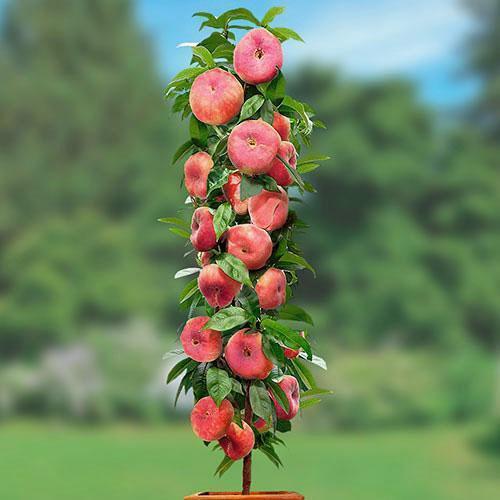 колоновидный плоский персик