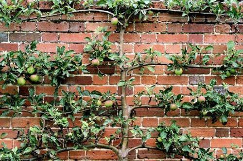 яблоня на стене гаража