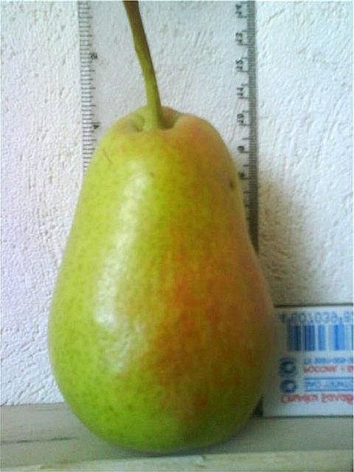 крупный плод Лесной Красавицы