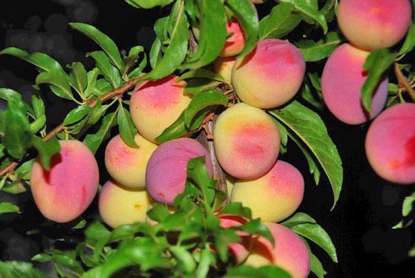 обильное плодоношение сливы