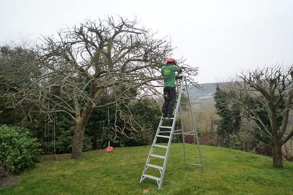 обновление кроны старого дерева