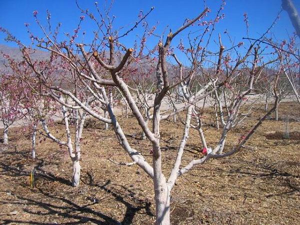 обрезанное абрикосовое дерево