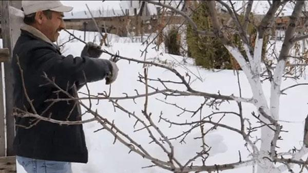 обрезка груши