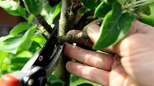 обрезка колоновидной груши