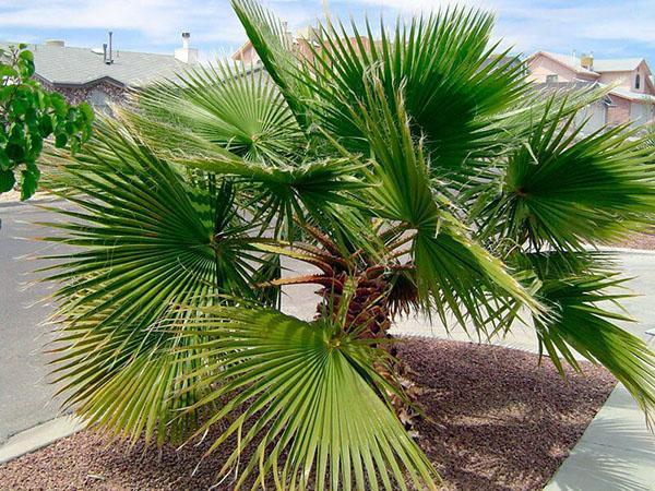 пальма вашингтония в природе