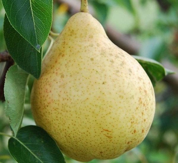 плод груши Москвичка