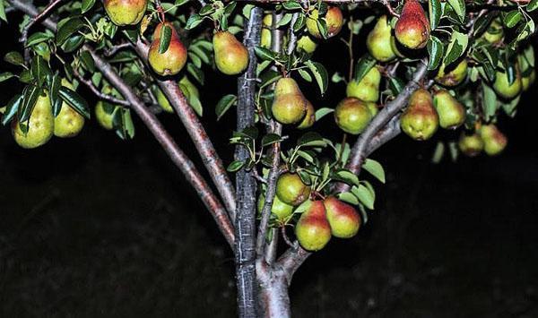 плодоношение молодого дерева