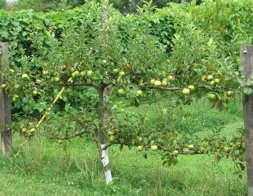 плодоносит яблоня на шпалере