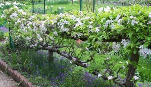 плодовое дерево на шпалере