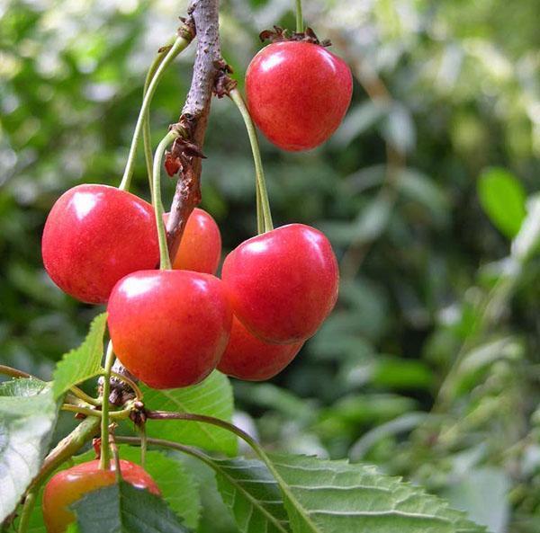 плоды черешни весом до 6 грамм