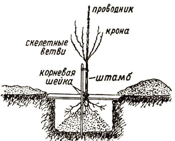 Груша велеса